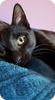 Domestic Shorthair Kitten for adoption in New York, New York - Elliot