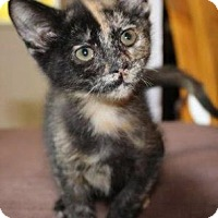 Domestic Shorthair Cat for adoption in Walworth, New York - Reece