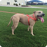 American Staffordshire Terrier Mix Dog for adoption in Tomball, Texas - Nala