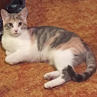 Domestic Shorthair Cat for adoption in Northfield, Ohio - Snickers
