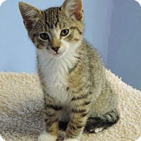 Domestic Shorthair Kitten for adoption in Brookings, South Dakota - Michael Kors