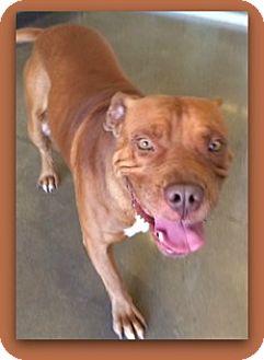 Bullmastiff Dog for adoption in Pampa, Texas - Eddy Flap Jack 24409