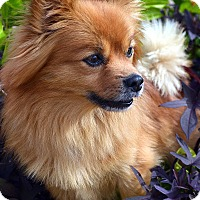 Adopt A Pet :: Chauncey - Bridgeton, MO