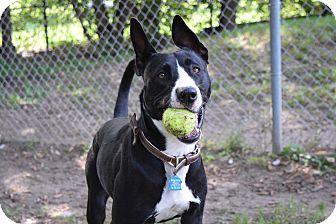Doberman Pinscher Mix Dog for adoption in Pontiac, Michigan - Phoebe