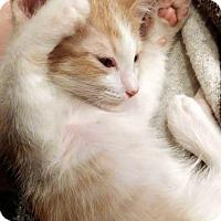 Adopt A Pet :: Nutmeg - Chandler, AZ