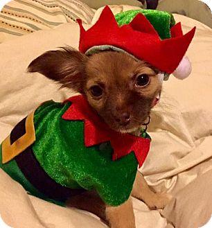 Chihuahua Mix Dog for adoption in Holly Springs, North Carolina - Sissy