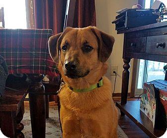 Golden Retriever/Shepherd (Unknown Type) Mix Dog for adoption in Sawyer, North Dakota - Hammy