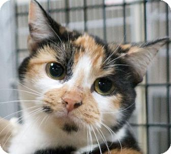 Domestic Shorthair Cat for adoption in Redwood City, California - Nicki