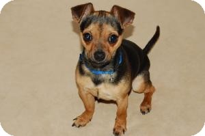 Chihuahua Dog for adoption in Shawnee Mission, Kansas - Eric
