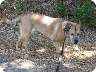 Labrador Retriever/Terrier (Unknown Type, Medium) Mix Dog for adoption in La Honda, California - Ben