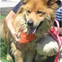 Chow Chow/Collie Mix Dog for adoption in Marina del Rey, California - Ava