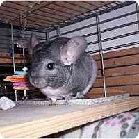 Adopt A Pet :: Chilitta - Avondale, LA