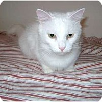 Adopt A Pet :: Snowie - Etobicoke, ON