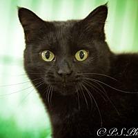 Adopt A Pet :: Black Olive - Belton, MO