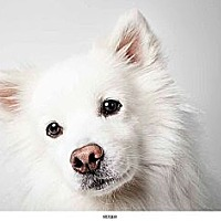American Eskimo Dog Mix Dog for adoption in New York, New York - Roger