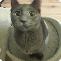 Adopt A Pet :: Gravy - Chandler, AZ