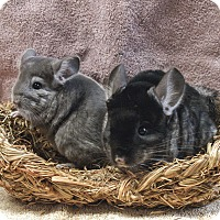 Adopt A Pet :: Pair of Chinchillas - Fountain Valley, CA