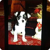 Adopt A Pet :: Buscuit - springtown, TX