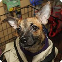 Adopt A Pet :: Chai - Detroit, MI