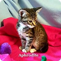 Adopt A Pet :: Aphrodite - Bentonville, AR