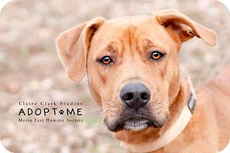 Labrador Retriever Mix Dog for adoption in Edwardsville, Illinois - Aunna