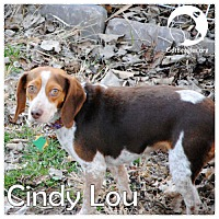 Adopt A Pet :: Cindy Lou - Pittsburgh, PA