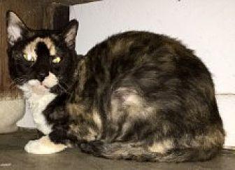 American Shorthair Cat for adoption in Bonita Springs, Florida - Fetti