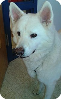 Husky/American Eskimo Dog Mix Dog for adoption in St. Louis, Missouri - Cooper