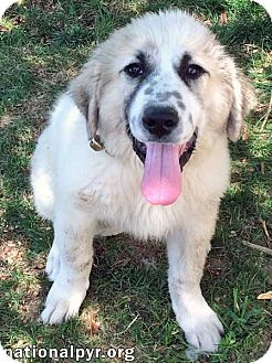 Great Pyrenees Puppy for adoption in Beacon, New York - Bandit / pup - pending