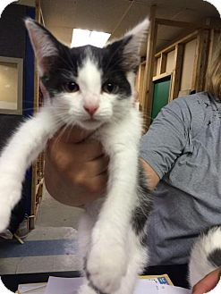 Domestic Shorthair Kitten for adoption in Saginaw, Michigan - Ingrid