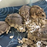 Hamster for adoption in Imperial Beach, California - Nureyev