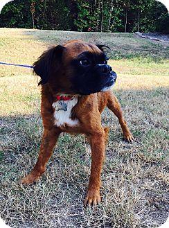 Boxer/Australian Shepherd Mix Dog for adoption in Foster, Rhode Island - Oskar (rbf)