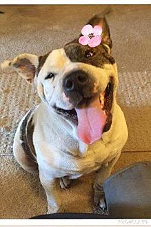 American Staffordshire Terrier Mix Dog for adoption in Lincoln, California - Miss America-great w/ kids!!