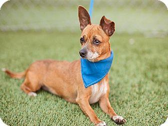 Chihuahua Mix Dog for adoption in Long Beach, California - Banana