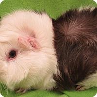 Adopt A Pet :: Wilbur - Steger, IL