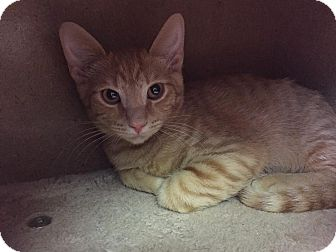 Domestic Shorthair Kitten for adoption in Virginia Beach, Virginia - Simba