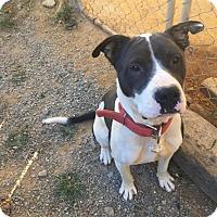 Adopt A Pet :: Morgan - Charlotte, NC