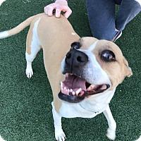 Adopt A Pet :: Daisy - Flower Mound, TX