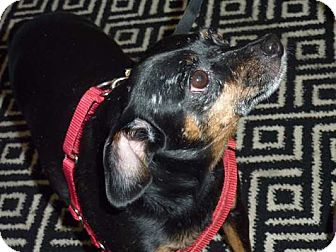 Miniature Pinscher Dog for adoption in Long Beach, New York - Pookie