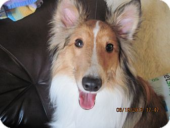 Sheltie, Shetland Sheepdog Puppy for adoption in apache junction, Arizona - Cooper