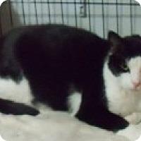 American Shorthair Cat for adoption in Medford, New York - Sylvester