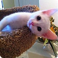 Adopt A Pet :: Prada - Phoenix, AZ