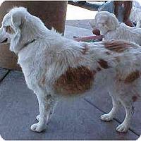 Adopt A Pet :: Ginger - Mesa, AZ