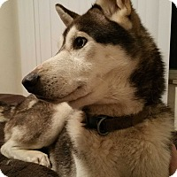 Adopt A Pet :: Noah - Toledo, OH