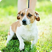 Adopt A Pet :: Skippy - Brattleboro, VT