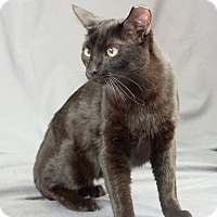 Domestic Shorthair Cat for adoption in Edmond, Oklahoma - Hiccup