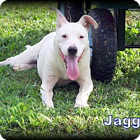 American Bulldog/Labrador Retriever Mix Dog for adoption in Sherman, Connecticut - Jagger S.A.M courtesy listing