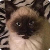 Adopt A Pet :: Za Litter - Hannibal - APPLICATIONS CLOSED - Livonia, MI