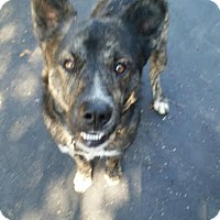 Adopt A Pet :: Duncan - Manhasset, NY