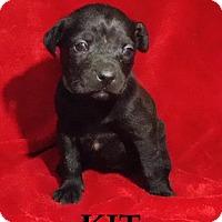 Adopt A Pet :: Kit - Batesville, AR